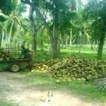 Coconut lands are available for sale (01 to 50 acres) at Kurunegala & Puttlam districts.